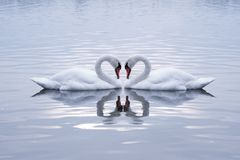 Swans Heart. In the Calm Morning Lake stock image