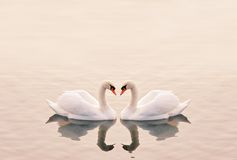 Swans Heart. In the Calm Morning Lake royalty free stock image