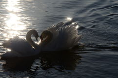 Swans with heart form Stock Photos