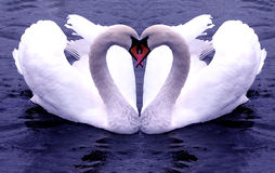 Swans Hearts Stock Photos