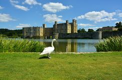 swans Historiskt medeltida, Leeds Castle Kent Uk royaltyfri foto