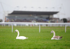 Swans on horse racecourse Royalty Free Stock Images