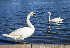 Swans in Hyde Park. Swans sunning themselves on the Serpentine in Hyde Park, London Royalty Free Stock Photos