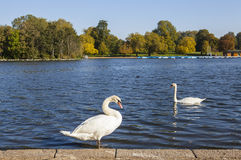 Swans in Hyde Park. Swans sunning themselves on the Serpentine in Hyde Park, London Royalty Free Stock Photography
