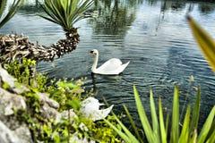 Swans i ett damm Royaltyfri Bild