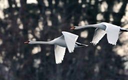Swans i flyg royaltyfri fotografi