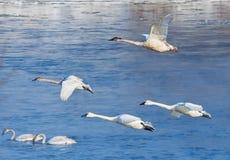 Swans i flyg Arkivfoto