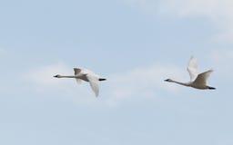 Swans i flyg Royaltyfria Bilder