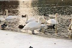 Swans i laken Arkivbild