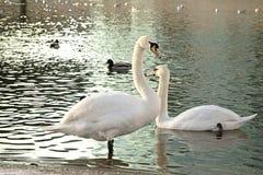 Swans i laken Royaltyfri Foto