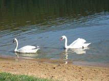 Swans i laken Arkivfoto
