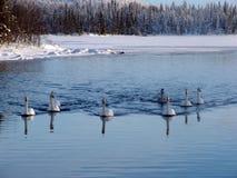 Swans i vinter Royaltyfri Foto