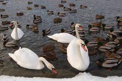 Swans i winter1 Royaltyfri Bild