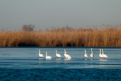 Swans on Ice Royalty Free Stock Photos
