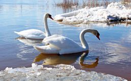 Swans of ice Stock Image