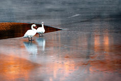 Swans on ice Royalty Free Stock Photo