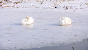 Swans on ice Stock Photos