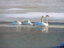 Swans. On ice Royalty Free Stock Images