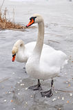 Swans on ice Royalty Free Stock Photography