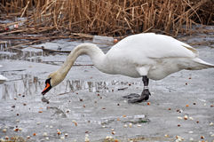 Swans on ice Royalty Free Stock Images