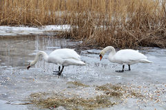 Swans on ice Royalty Free Stock Image