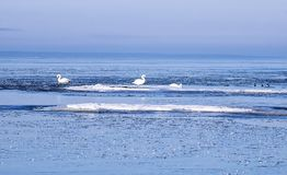 Swans in the ice floes. Mute swans in the ice floes in the Finnish Gulf of the Baltic Sea Royalty Free Stock Photos