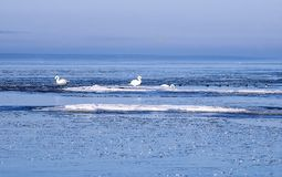 Swans in the ice floes. Mute swans in the ice floes of the Finnish Gulf of the Baltic Sea Stock Image