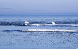 Swans between ice floes in the winter Stock Photography