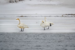 Swans on the ice Royalty Free Stock Image