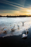 Swans II. Swans on the ice on the small lake at the evening by the sunset Stock Photo
