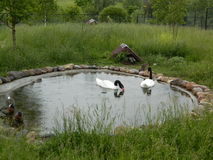 The swans. Stock Photo