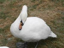 The swans. Royalty Free Stock Photos