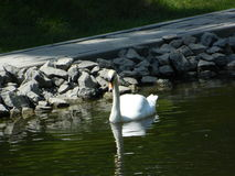The swans. Royalty Free Stock Photography