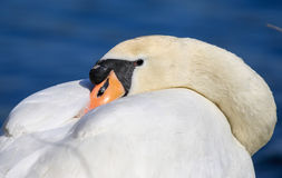 Swans with its head tucked under its wing Stock Photo