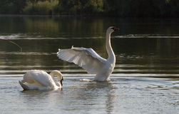 A swans in lake. Swans rests on the lake Stock Photos