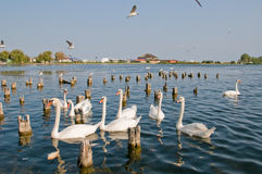 Swans on lake. Group of beautiful white swans on a lake Stock Photos