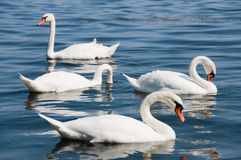 Swans on lake Stock Photo