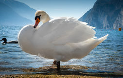 Swans on the lake Stock Photography