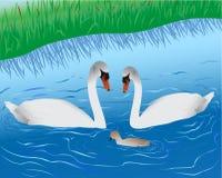 Swans on lake Stock Photos