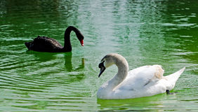 Swans in the lake Royalty Free Stock Images
