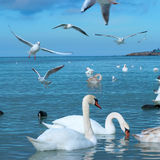 Swans on the lake Stock Image