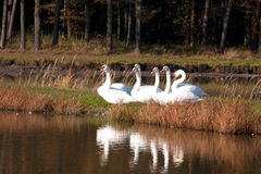 Swans in a lake. Swans in autumn near a lake Royalty Free Stock Photo