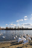 Swans on lake. Sunny day on the lake with group of swans Stock Photos