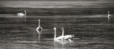swans on lake Stock Photos