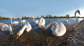 Swans lake. Swans on the lake are having launch Stock Image