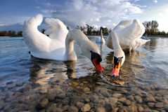 Swans on the lake. Are drinking water Royalty Free Stock Photo