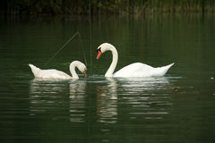 Swans on a lake Stock Images