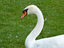 Swans at the lake Royalty Free Stock Photography