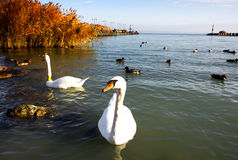 Swans at Lake Balaton Royalty Free Stock Image