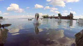 Swans on the lake Balaton  town Keszthely in Hungary stock video footage